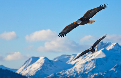 Two eagles Soaring