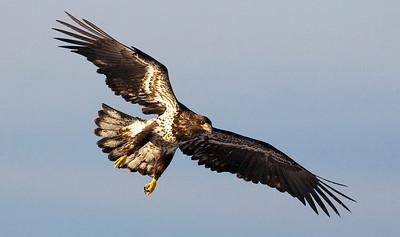 Eagles Flying Sunny20090321_2475