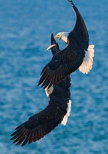 Eagles Flying Sunny20090321_2452