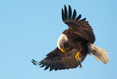 Eagles in flight20090321_2169