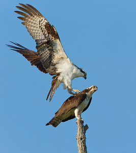 Male Female Osprey 2012