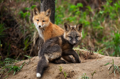 Red Fox and Cross Over Pups