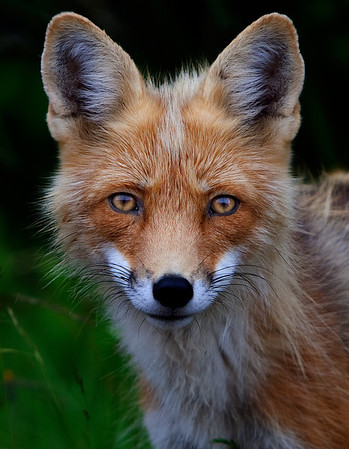 Red Fox on Prince Edward Island, Canada