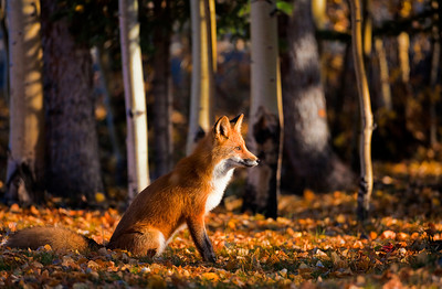 Red Fox, Tok, Alaska