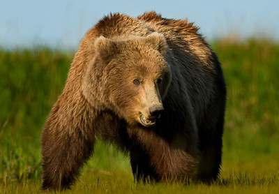 Large Male Brown Bear