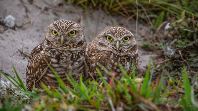 burrowing owls duo