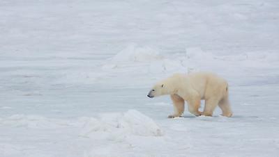 20081108_Churchill Polar Bears-416376617-O