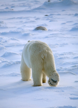 walking away polar bear-434463165-O