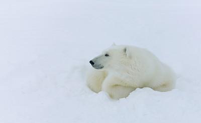 20081107_Churchill Polar Bears-416376383-O