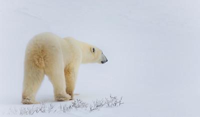20081106_Churchill Polar Bears-416375757-O