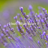 Nature Bee in Lavender Field