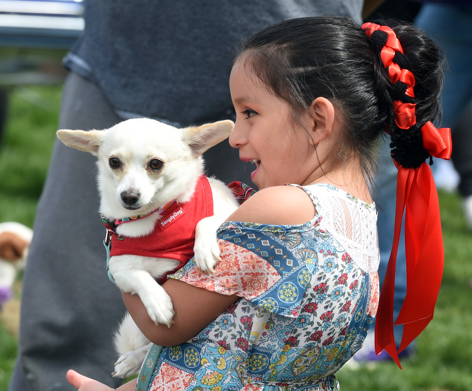 . Viktoria Macias, 7, holds her chihuahua, Kloe, for the chihuahua contest. Longmont held its annual Cinco de Mayo celebration at Roosevelt Park on Saturday. For more photos and a video, go to dailycamera.com. Cliff Grassmick  Photographer  May 5,  2018