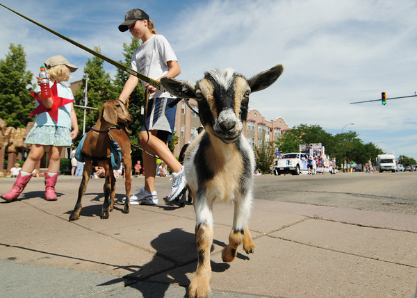 A young goat with Briar Gate Farm takes an interest in the camera during the Boulder County Fair Parade in Longmont Saturday, July 31, 2010. (Bradley Wakoff/Times-Call)