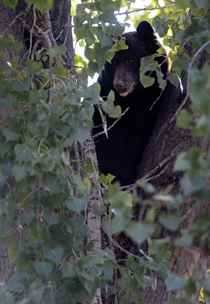 BEAR_IN_TREE