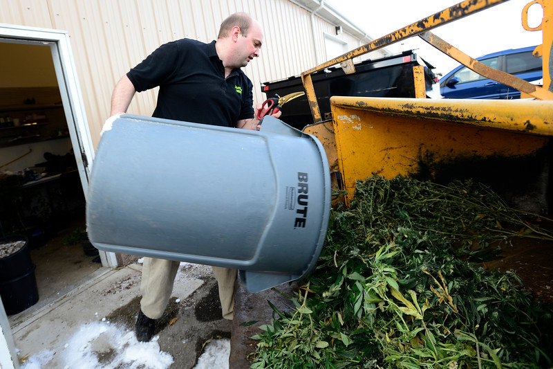 Dacono Meds owner Brad Henson loads a trash can with piles of medical marijuana plants in to an A-1 Natural Arbor Care chipper/shredder, Monday, Dec. 31, 2012, outside his dispensary. Dacono Meds ceased providing medical marijuana and destroyed remaining plants to comply with a Dacono city wide dispensary ban. <br /> (Matthew Jonas/Times-Call)