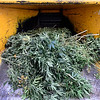 A pile of medical marijuana plants are seen before being shredded by A-1 Natural Arbor Care, Monday, Dec. 31, 2012, at Dacono Meds.<br /> (Matthew Jonas/Times-Call)
