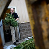Dacono Meds owner Brad Henson carries piles of medical marijuana plants to an A-1 Natural Arbor Care chipper shredder, Monday, Dec. 31, 2012, outside his dispensary. Dacono Meds ceased providing medical marijuana and destroyed remaining plants to comply with a Dacono city wide dispensary ban. <br /> (Matthew Jonas/Times-Call)