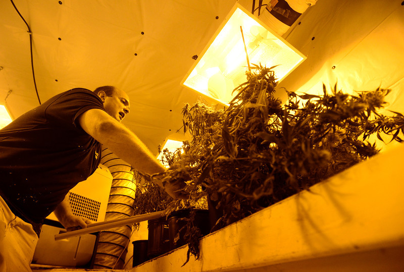 Dacono Meds owner Brad Henson cuts medical marijuana plants in a grow room to be shredded, Monday, Dec. 31, 2012. Dacono Meds ceased providing medical marijuana and destroyed remaining plants to comply with a Dacono city wide dispensary ban. <br /> (Matthew Jonas/Times-Call)