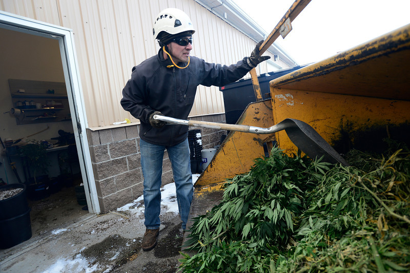 Nathan Sewolt, of A-1 Natural Arbor Care, shreds medical marijuana plants, Monday, Dec. 31, 2012, at Dacono Meds.<br /> (Matthew Jonas/Times-Call)