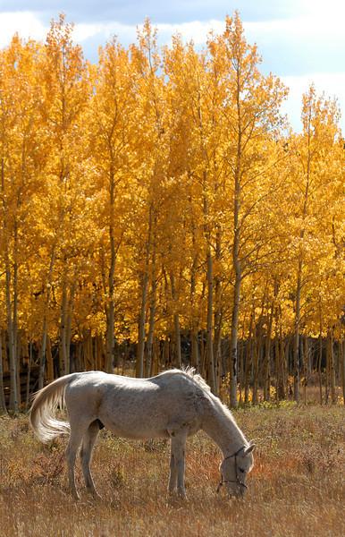 20081002_ASPENS_FALL_COLOR_HORSE