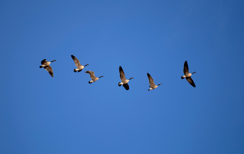 20101203_RMH_GEESE