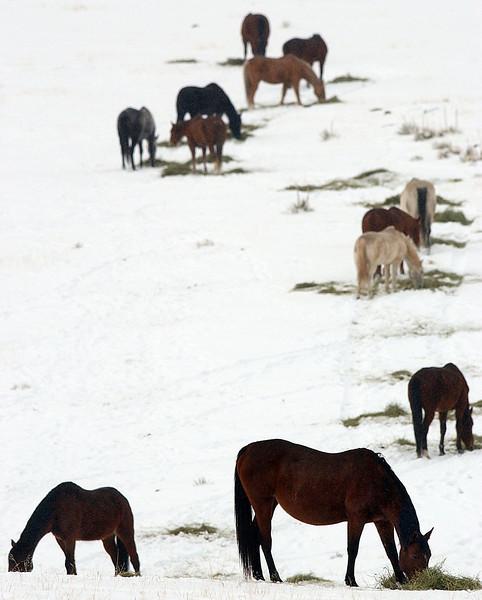 20040205_HORSES_HAY_WINTER_SNOW