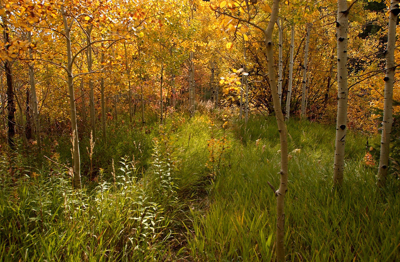 20081002_ASPENS_FALL_COLOR_TREES