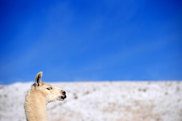 20090112_LLAMA_SNOW_SKY