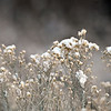 Snow on plants along the St. Vrain Greenway in Longmont on Tuesday, Dec. 25, 2012. <br /> (Greg Lindstrom/Times-Call)