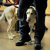 Retired arson sniffing dog, Shadow is seen peeking through the legs of Fire Investigator, Mike Manzo Monday, Nov. 26, 2012, at the Longmont Fire Department Station 1.<br /> (Elaine Cromie/For the Times-Call)