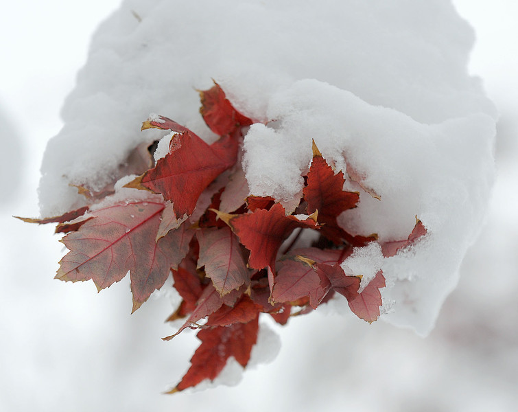 20091029_SNOW_LEAVES
