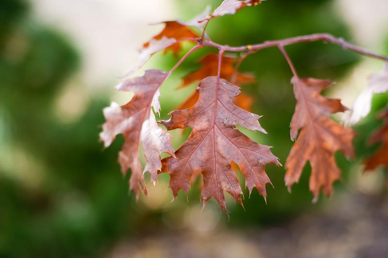 Northern Red Oak 2
