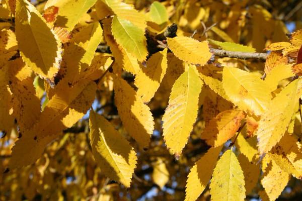 treefarm_accoladeelm