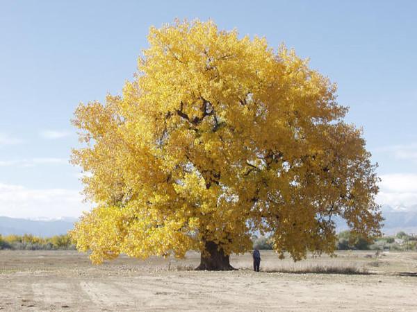 treefarm_plainscottonwood