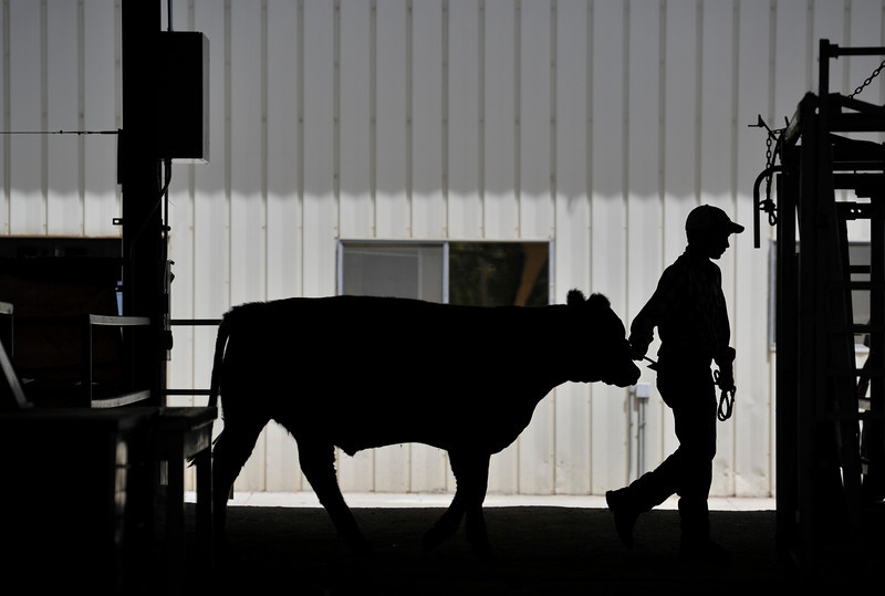 Sam Barnes, 13, of Mead, walks a National Western Stockshow Catch-a-calf named Chief to a washing area at the Boulder County Fair, Friday, Aug. 3, 2012, at the Boulder County Fairgrounds in Longmont. <br /> (Matthew Jonas/Times-Call)