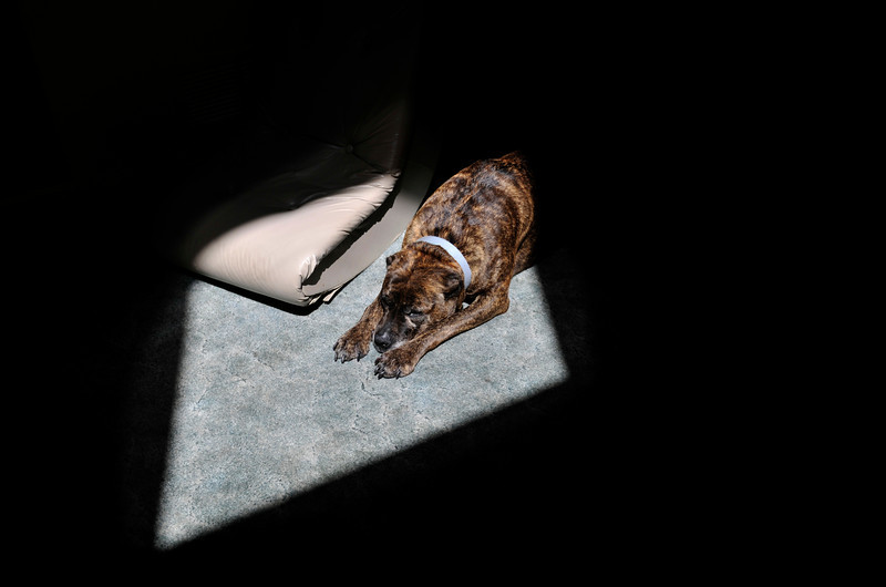 Inga, an 11-year-old pit bull mix sleeps in a sun beam on the floor Wednesday, May 9, 2012 at owner Diane Sturm's home in Longmont. Inga often scoots across the floor to follow the sun.<br /> (Matthew Jonas/Times-Call)