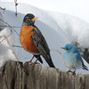 A robin and a mountain bluebird share a fence Monday, April 15th. (Photo submitted by John Shetter)