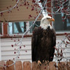 A Bald Eagle on a neighbor's fence on Morgan Road in<br /> Longmont, 7:30 p.m. Monday, April 1st. (Photo submitted by Brenda Watson)<br /> To submit your reader photo send it to tcphotos@times-call.com with a brief description.