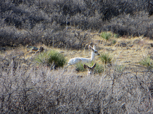 An albino deer Sunday, March 30th on the Antelope Trail at Hall Ranch. (Photo submitted by Ruth Klotz)<br /> To submit your reader photo send it to tcphotos@times-call.com with a brief description.