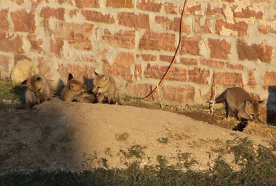 Pat McDowell photographed these baby foxes that live in a den under an old bar in the Meadow Vale Farm neighborhood off Weld County Road 5.5 and State Hwy. 119. (Photo submitted by Mark McDowell)