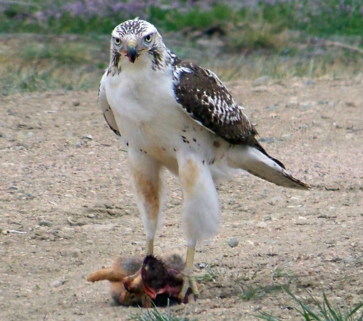 A red-tailed hawk dines on a squirrel near McIntosh Lake Friday April 26th. (Photo submitted by Jeff Gauthier)