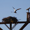 An osprey at Cattail Ponds builds a nest Sunday, March 31st. (Photo submitted by Tom Reger)<br /> To submit your reader photo send it to tcphotos@times-call.com with a brief description.
