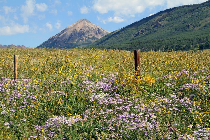 Wild flowers were photographed by Ralph Josephson above Crested Butte on the way to Gothic. (Photo submitted by Ralph Josephson)