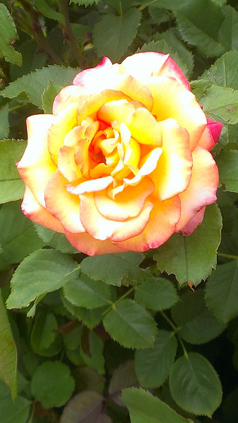 Debbie Hamrick photographed this rose in the Longmont Memorial Rose Garden at Roosevelt Park in mid-July. (Photo submitted by Debbie Hamrick)