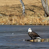 A bald eagle stands on ice near County Road 3.5 and Hwy. 119. (Photo submitted by Randall Sorensen)
