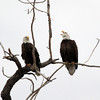 A pair of bald eagles St. Vrain State Park. Photo taken on January 26, 2013. (Submitted by Anne<br /> Barela)