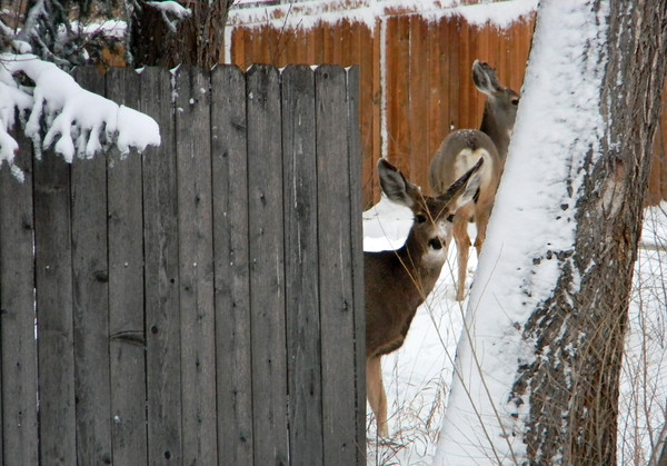 Deer wait out the snow storm near Ninth Avenue and Hover Street Sunday Feb. 24th. (Photo submitted by John West)