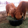 Carmella and Scarlet, miniature horses with the Colorado Therapeutic Riding Center, have dinner Thursday, Feb. 28th. Colorado Therapeutic Riding Center is located at 11968 Mineral Rd. (Photo submitted by Sue Winthrop)