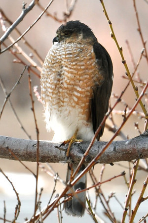 "This sharp-shinned hawk was visiting a bird feeder along 75th Street recently to feed on song birds. ""While it is a nuisance, I think this is a beautiful creature,"" wrote Jill Rumley. The photo was taken Feb. 20th while the hawk was napping in a peach tree. (Photo submitted by Jill Rumley)"
