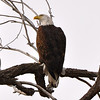 Bald Eagle, 1/26/13, near Lagerman Reservoir. (Photo submitted by Rob Gonzales)